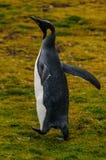 Rei Penguins em planícies de Salisbúria foto de stock