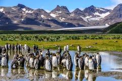 Rei Penguins em planícies de Salisbúria imagens de stock