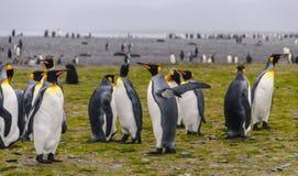 Rei Penguins em planícies de Salisbúria imagens de stock royalty free