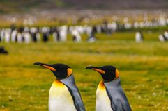 Rei Penguins em plan?cies de Salisb?ria fotos de stock royalty free
