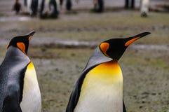 Rei Penguins em plan?cies de Salisb?ria fotografia de stock