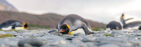 Rei Penguins em plan?cies de Salisb?ria imagem de stock royalty free