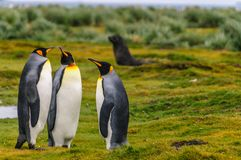 Rei Penguins em plan?cies de Salisb?ria imagens de stock royalty free