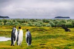 Rei Penguins em plan?cies de Salisb?ria imagens de stock