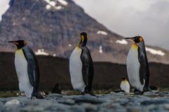 Rei Penguins Walking de Thee na linha fotos de stock royalty free