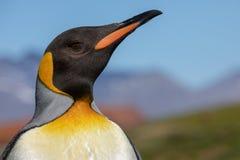 Rei pinguim Um close up de uma cabeça de pinguim de rei imagem de stock royalty free