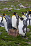 Rei pinguins Foto de Stock