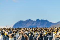 Rei pinguins em Geórgia sul foto de stock