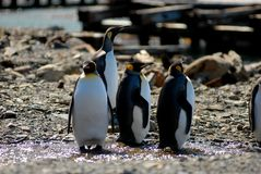 Rei pinguins em Grytviken Imagens de Stock