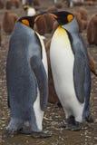 Rei pinguins - Ilhas Falkland Fotos de Stock