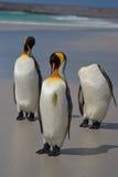 Rei pinguins - Ilhas Falkland Fotografia de Stock Royalty Free