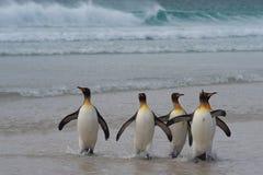 Rei pinguins - Ilhas Falkland Imagens de Stock Royalty Free