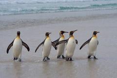 Rei pinguins - Ilhas Falkland Imagem de Stock Royalty Free