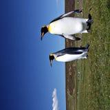 Rei pinguins no ponto voluntário Foto de Stock