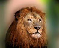 Rei real Leão com os olhos brilhantes afiados Fotografia de Stock