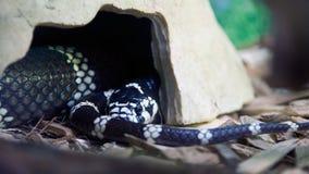 Rei serpente californiano imagem de stock
