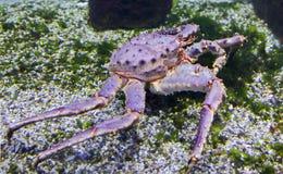 Rei vermelho Crab imagem de stock