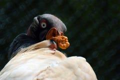 Rei Vulture Foto de Stock Royalty Free