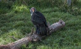 Rei Vulture Imagem de Stock Royalty Free