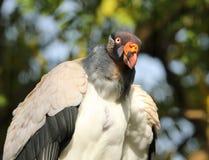 Rei Vulture Fotografia de Stock Royalty Free