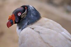 Rei Vulture Imagens de Stock