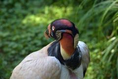 Rei Vulture Imagem de Stock