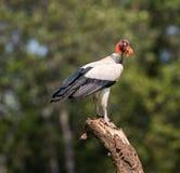 Rei Vulture Fotografia de Stock