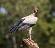 Rei Vulture Fotos de Stock Royalty Free
