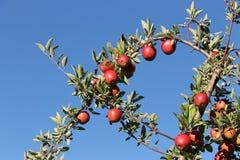 Reich-Äpfel in Harvard, Massachusetts lizenzfreie stockfotos