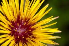 reichardia gaditana цветка Стоковые Фотографии RF