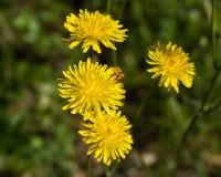 Reichardia Picroides, brighteyes comuns, botânicos Imagem de Stock Royalty Free