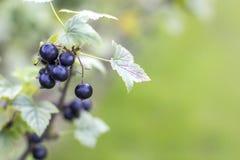 Reiche Beeren der Schwarzen Johannisbeere auf Niederlassung im Garten, selektiver Fokus Lizenzfreie Stockfotos