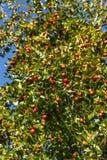 Reiche Ernte der Jujube auf einem Baum lizenzfreie stockbilder
