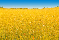 Reiche Ernte des Weizens Stockfoto