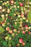 Reiche Ernte von Äpfeln lizenzfreies stockbild