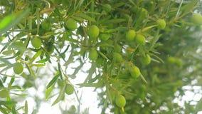 Reiche Ernte von Oliven Baum mit grünen Früchten stock footage