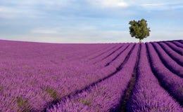 Reiches Lavendelfeld mit einem einsamen Baum Stockfotos