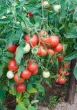 Reichlicher Fructification der Tomaten Lizenzfreie Stockbilder