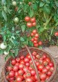 Reichlicher Fructification der Tomaten Lizenzfreie Stockfotos