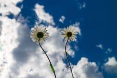 Reichweite mit zwei Kamillen zum blauen Himmel Stockbild