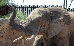 Reid Park Zoo Elephant, Tucson, Arizona royalty-vrije stock foto