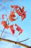 Reif auf Blättern. Stockbild