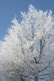 Reif an einem Buchenbaum gegen einen blauen Himmel Lizenzfreies Stockfoto