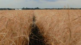 Reife Ährchen des Weizens und des Roggens Weg zwischen dem Weizenfeld auf dem Hintergrund eines weißen Autos und einem blauen Him stock video