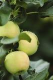 Reife Äpfel stockfoto