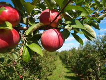 Reife Äpfel auf Baum stockfotos