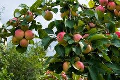 Reife Äpfel auf dem Baum Lizenzfreie Stockfotografie