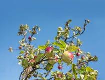 Reife Äpfel auf dem Baum, Hintergrund mit leerem Raum für Text Lizenzfreie Stockfotos