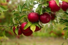 Reife Äpfel auf den Niederlassungen eines Baums im Garten Selektiver Fokus Stockbild
