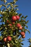 Reife Äpfel auf einem Baumzweig Lizenzfreie Stockbilder